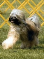 Tibetan Terrier Showing
